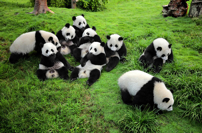 O parque no sul da China onde pode interagir com pandas gigantes